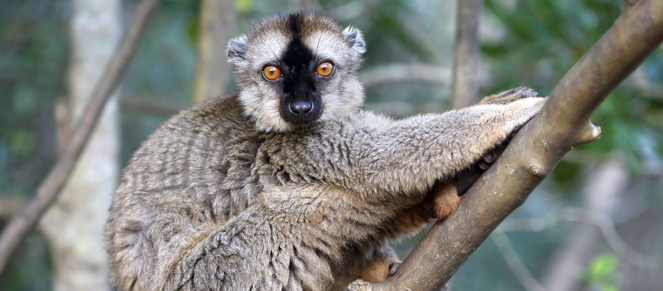 Madagascar tours slide shows a red-fronted brown lemur