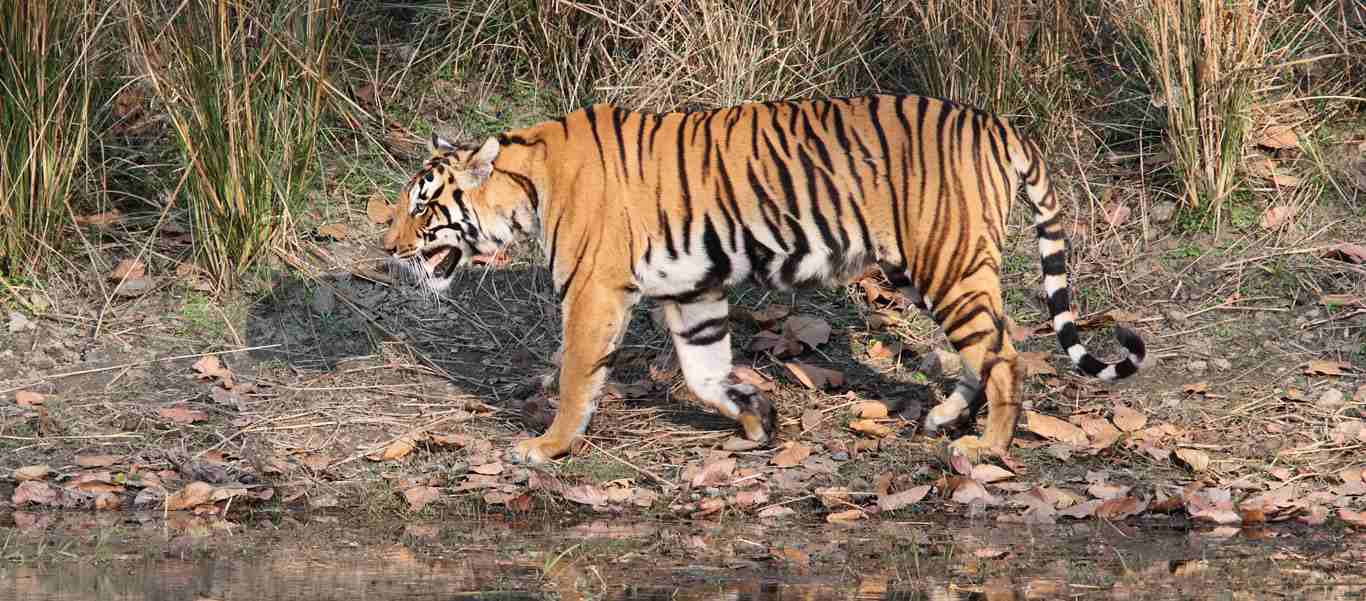 India and Nepal wildlife safari slide shows a bengal tiger hunting
