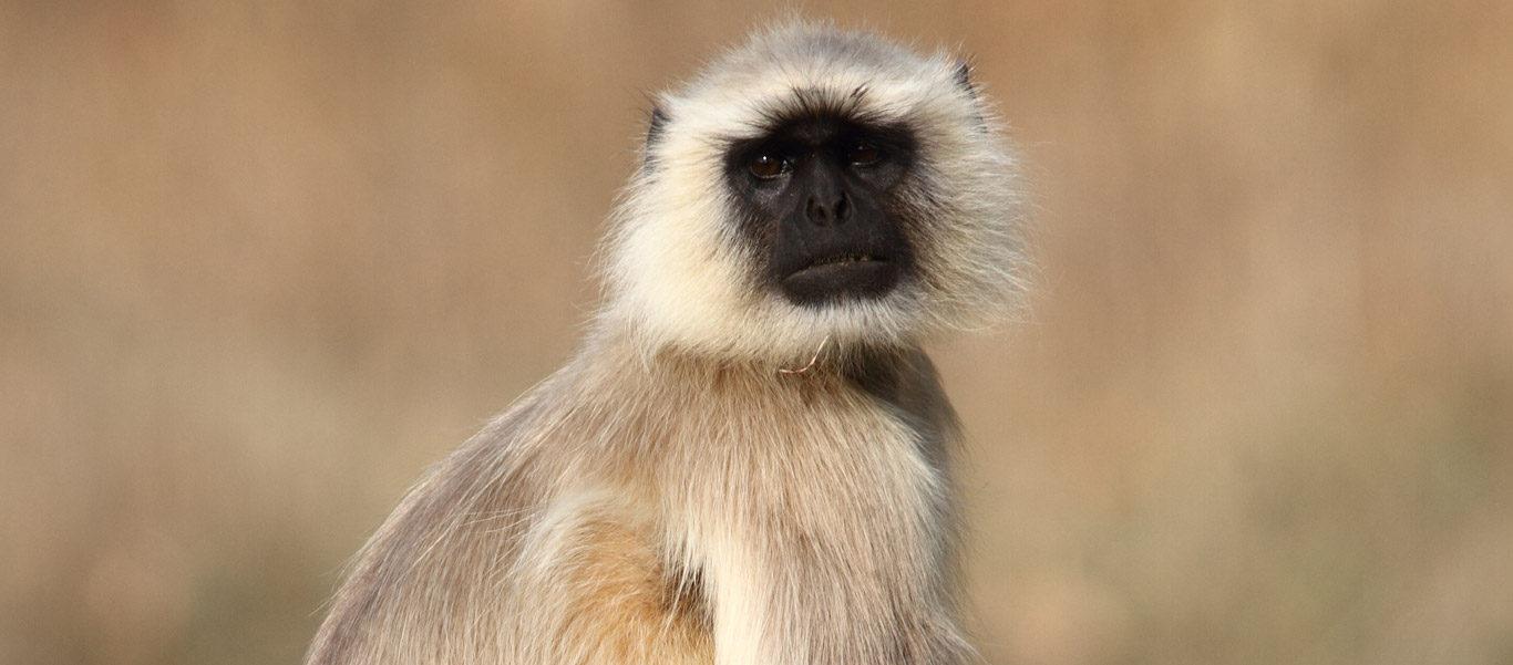 India and Nepal wildlife safari slide of a hanuman langur monkey