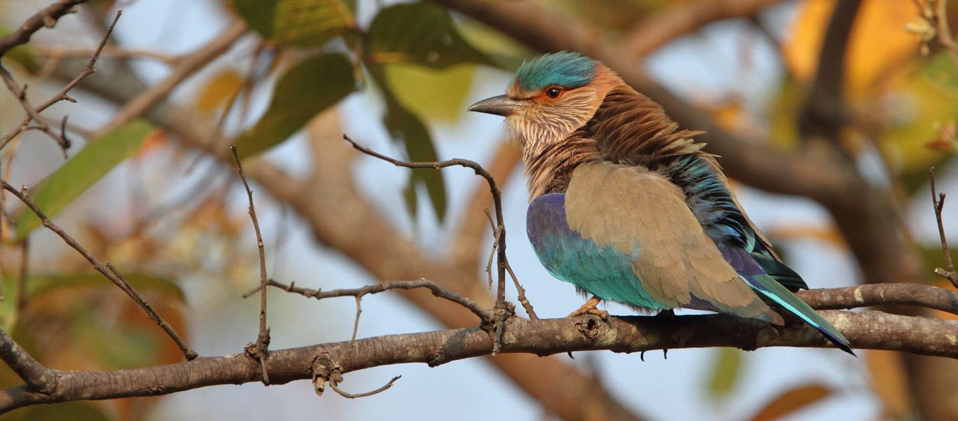 India and Nepal tour slide of a multi-colored Indian Roller bird