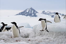 Penguin habitat with several penguins