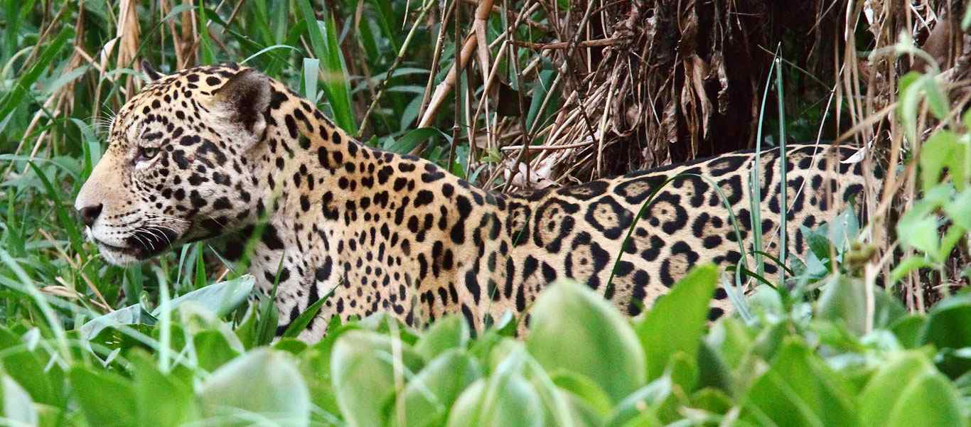 Brazil tours slide showing jaguar habitat