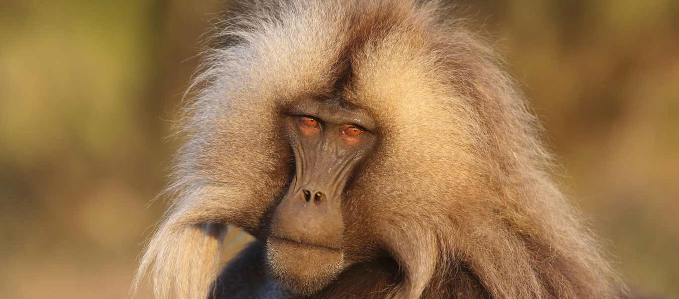 Ethiopia travel image showing a Gelada in Simien National Park