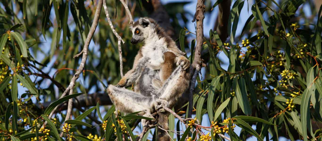 Madagascar travel photo showing Ring-tailed Lemur in Berenty Reserve