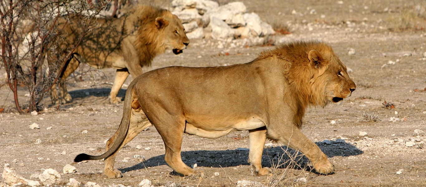 Namibia wildlife safari slide shows lions hunting in Etosha National Park