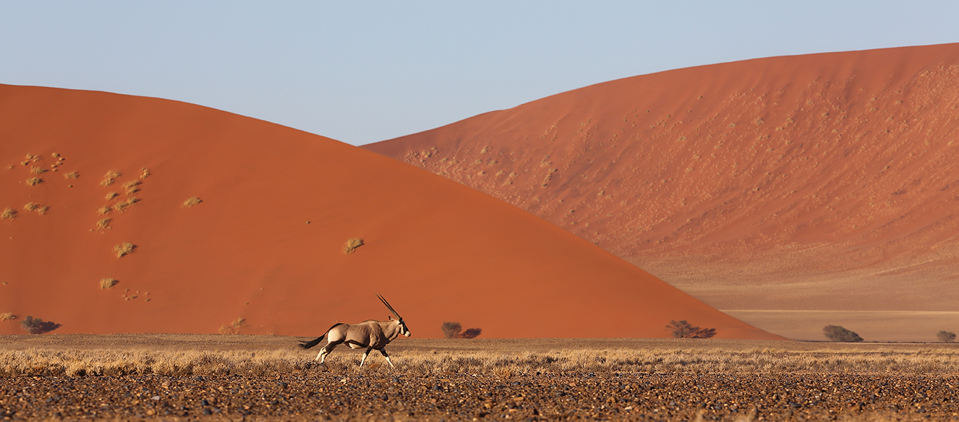 Namibia wildlife safari slide shows a gemsbock running across the Nambian desert