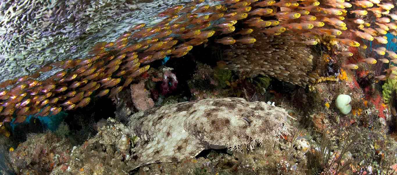 Raja Ampat diving tours slide of a tasselled wobbegong