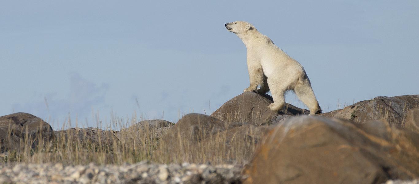 Baffin Island tour photo featuring a polar bear on rocks
