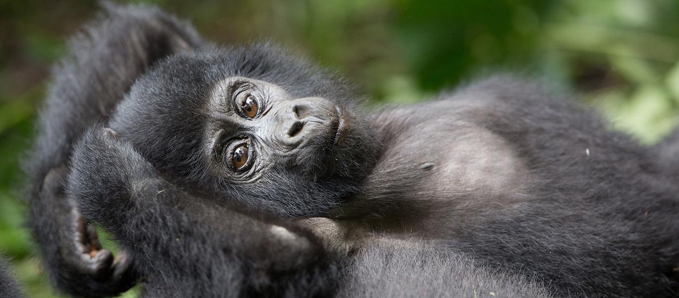 Tanzania tour and Uganda gorilla safari slide showing baby gorilla