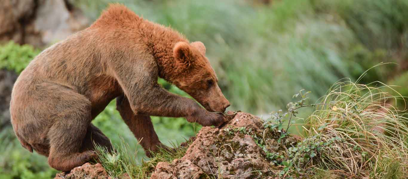 Spain's nature tour slide showing Cantabrian Brown Bear