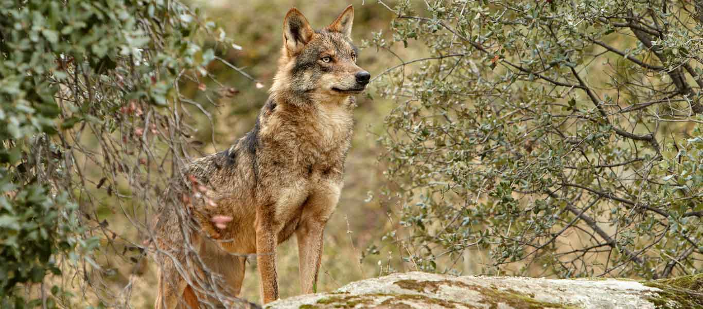 Spain wildlife tour slide featuring an Iberian Wolf