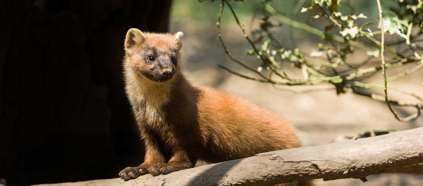Spain wildlife tours photo of a Pine Marten