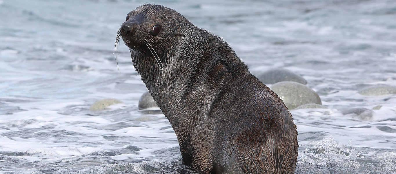 Antarctica, South Georgia and Falkland Islands luxury cruise photo of Antarctic Fur Seal at water's edge