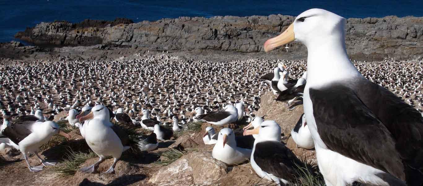 Antarctica, South Georgia and Falklands Small Ship Cruise photo of Black-browed Albatross on Steeple Jason Island