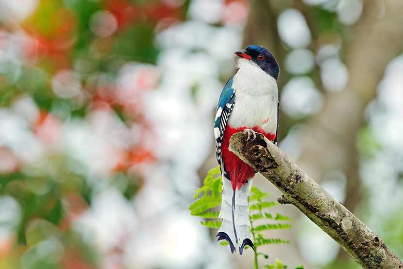 Cuba tour slide shows Cuban trogon or tocororo