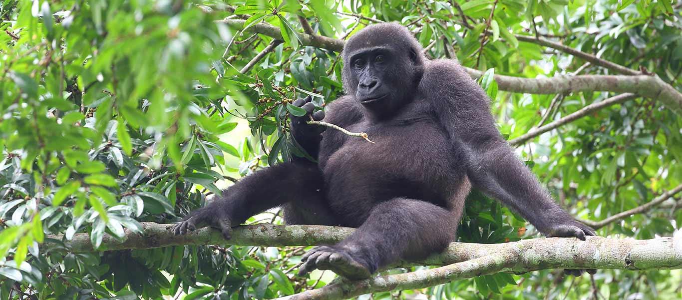Congo and Rwanda wildlife safari slide showing western lowland gorilla habitat