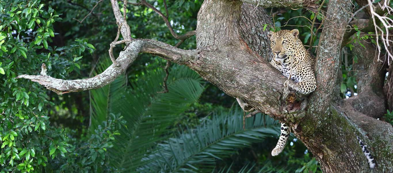 Botswana safari image of Leopard in tree
