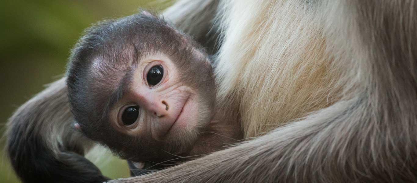 Tiger safari photo of baby Hanuman Langur