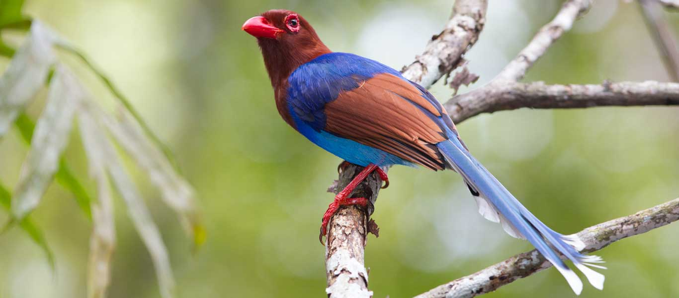 Sri Lanka wildlife photo of a Sri Lanka Blue Magpie