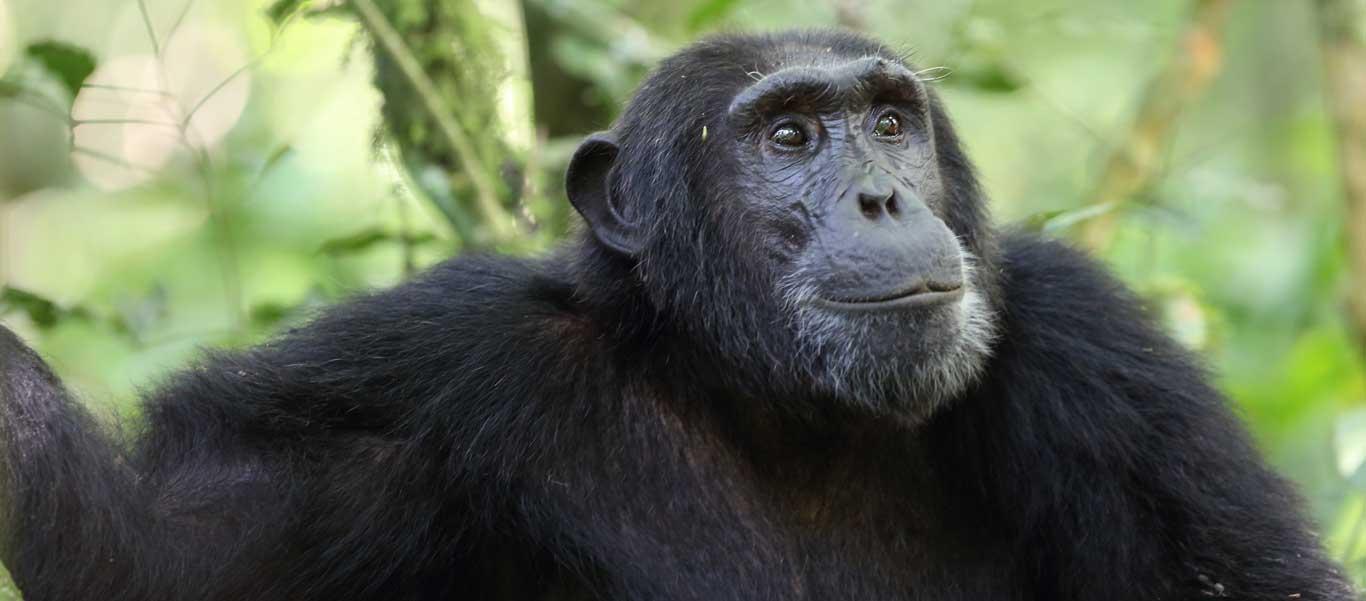 Uganda safari tour photo of Chimpanzee in Kibale National Park