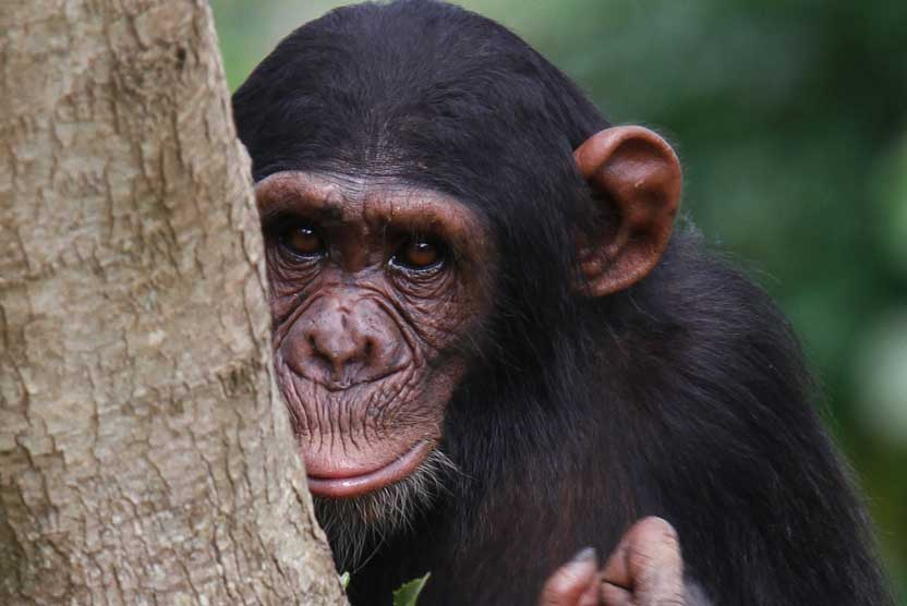 Uganda safari tour image of a Chimpanzee in Kibale National Park.