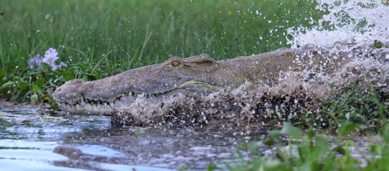 Uganda safari tour image of Nice Crocodile in Murchison Falls National Park