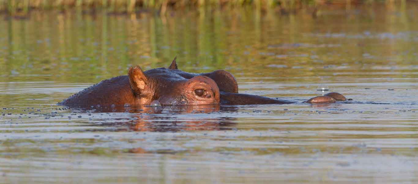 Zambia wildlife safaris photo of a Hippopotamus in water