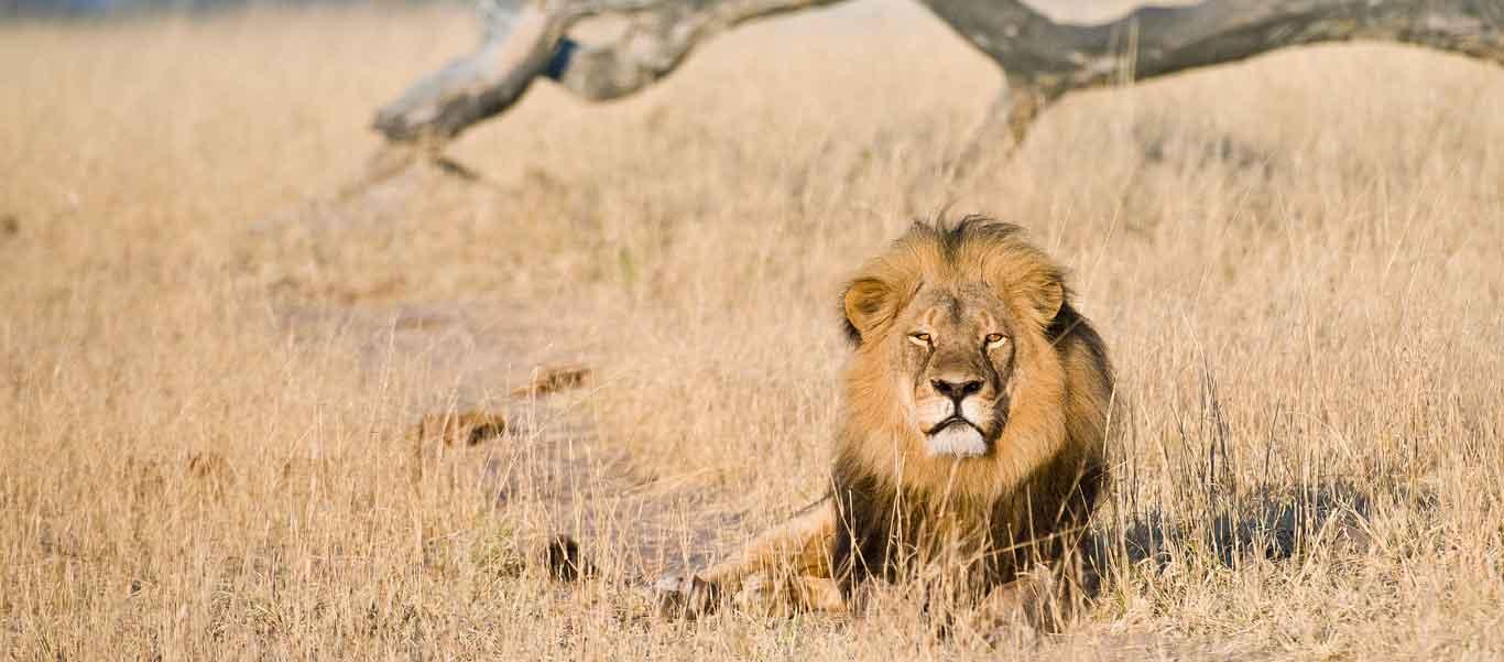 Zimbabwe wildlife safaris image of male Lion