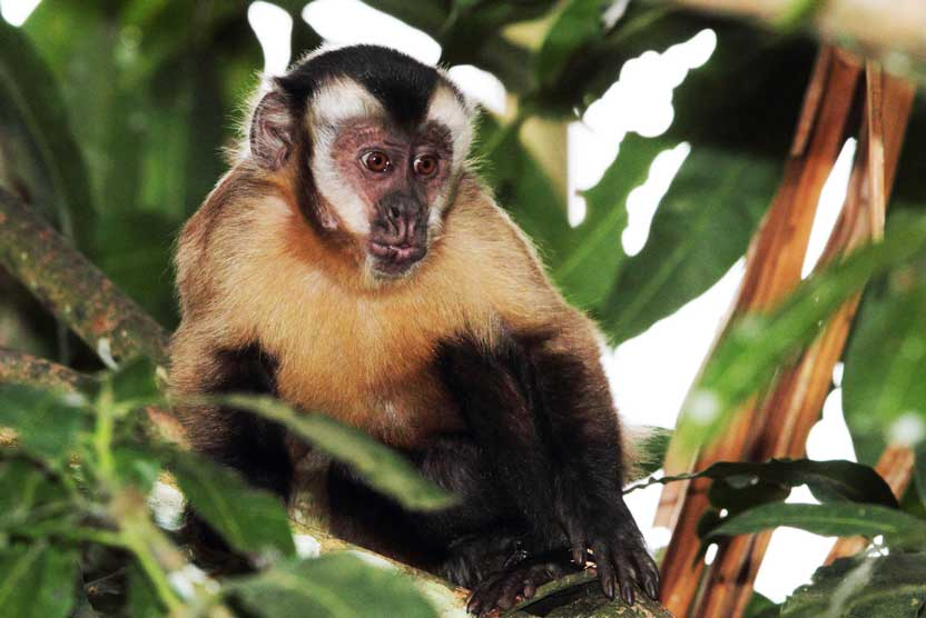 Asuncion Paraguay photo of a Brown Capuchin Monkey