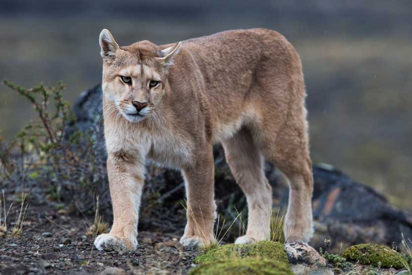 Patagonia tours photo of a Puma