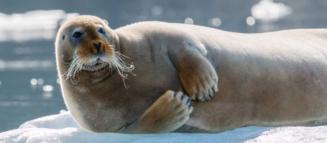 Franz Josef Land photo of Bearded Seal