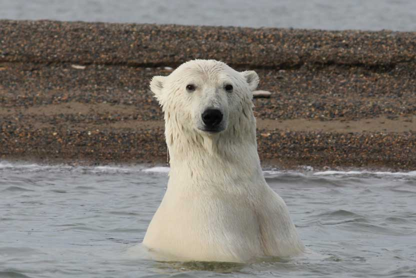 Alaska bear adventures photo of a Polar Bear