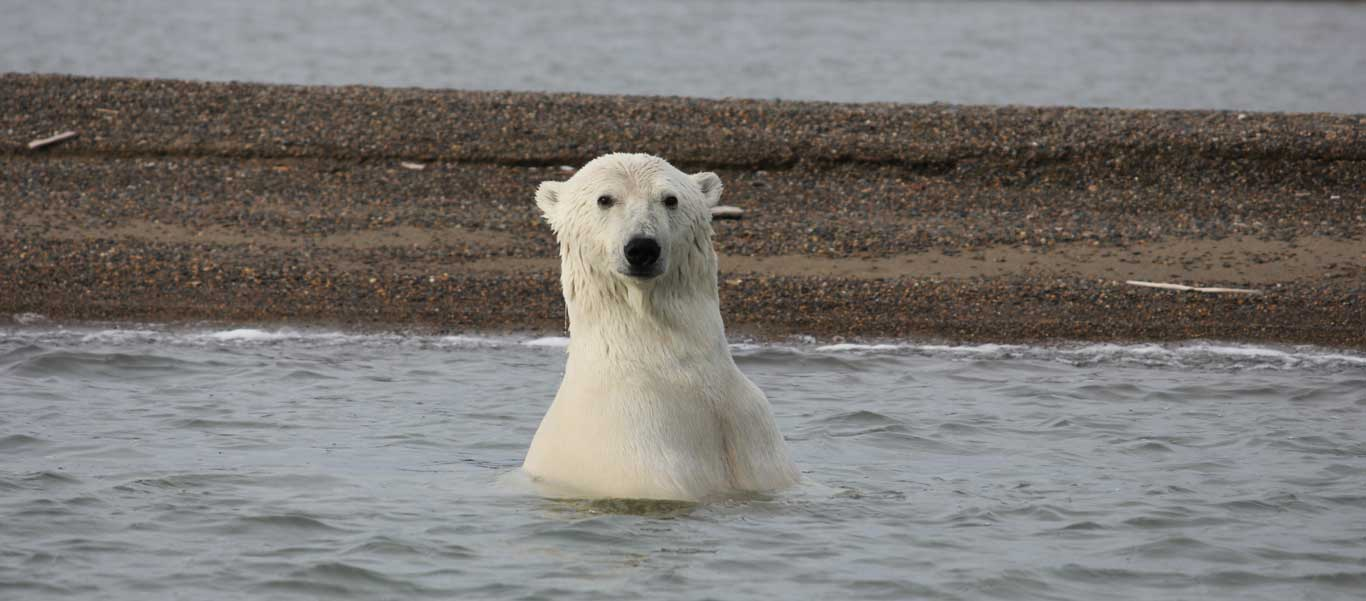 Alaska bear adventures photo of a Polar Bear in the water near Kaktovik.