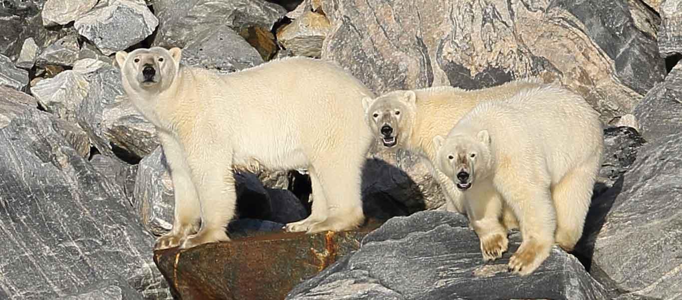 Russia Franz Josef Land photo of Polar Bear with cubs