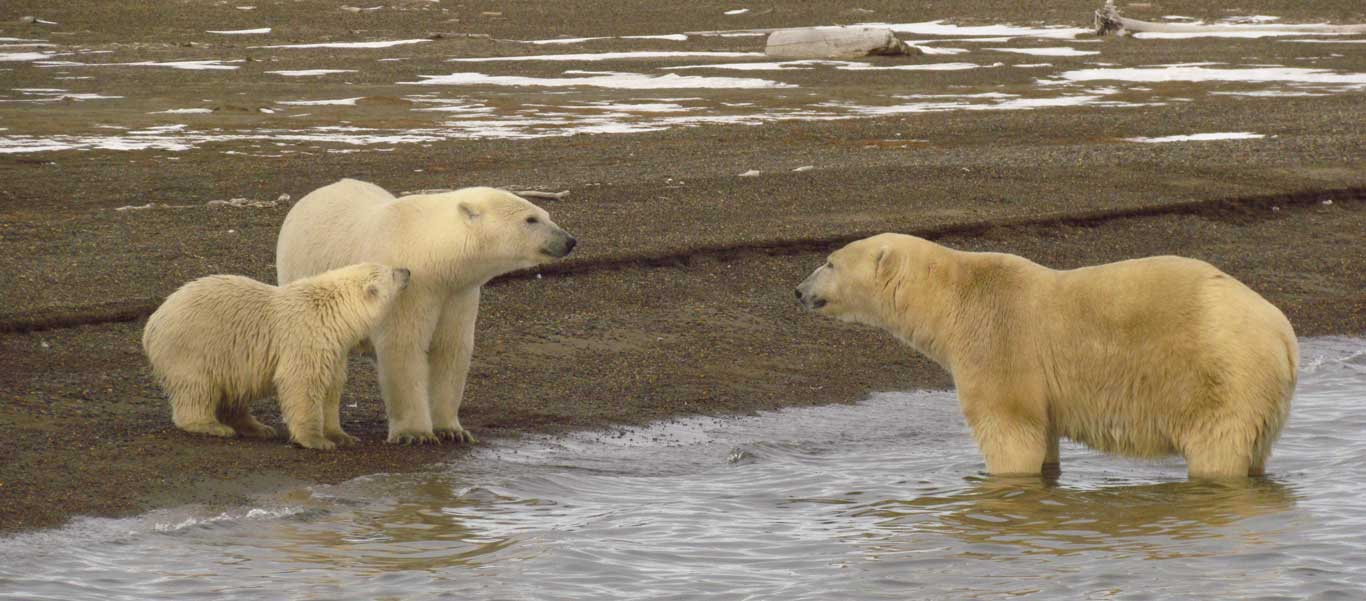 Alaska bear viewing photo of Polar Bears in Kaktovik.