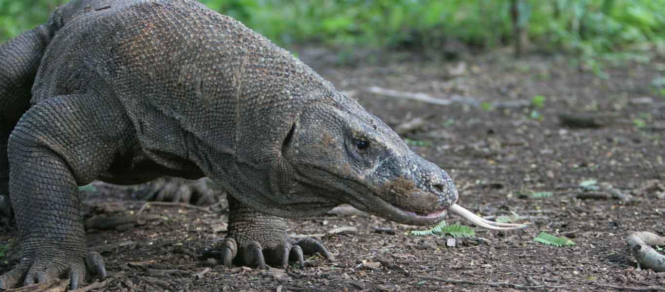 Komodo Island tours image of Komodo Dragon