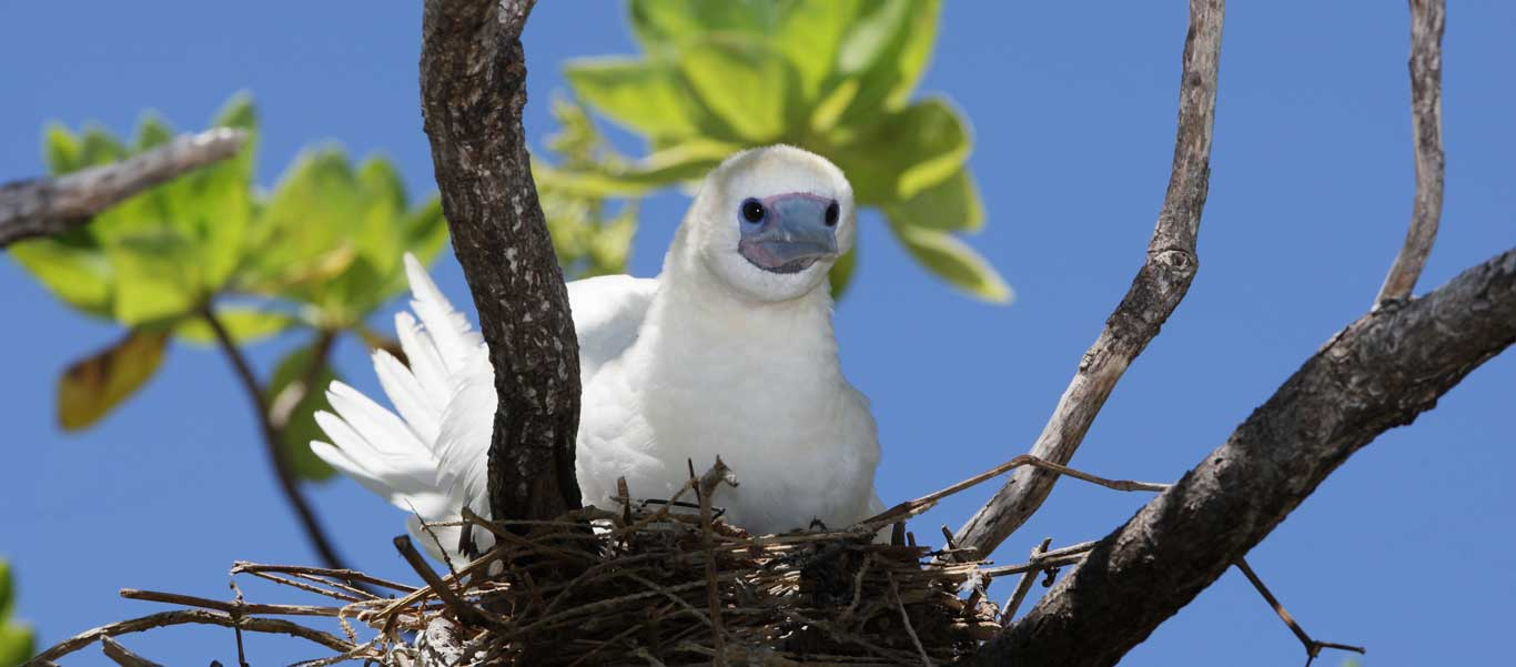 Tahiti to Easter Island photo of Red-footed Booby
