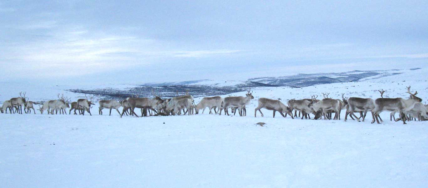 Sami Easter festival photo of reindeer herd