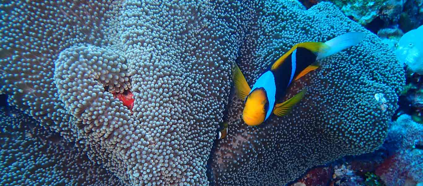 French Polynesia cruise picture of clown fish