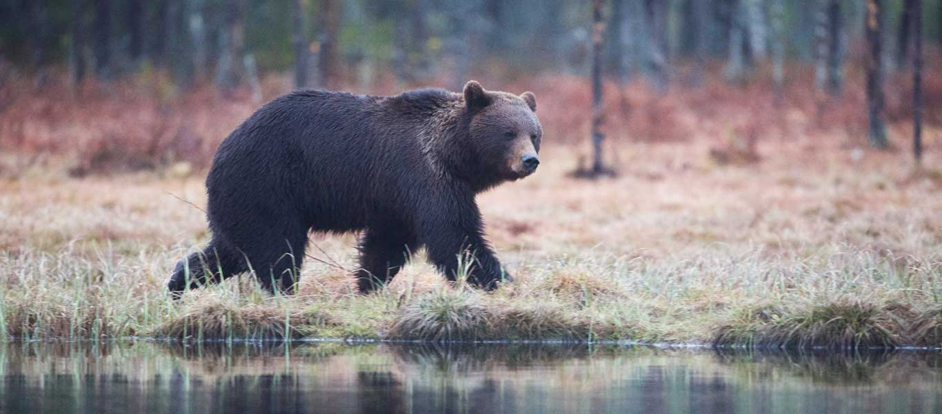Finland bear watching image of a Brown Bear
