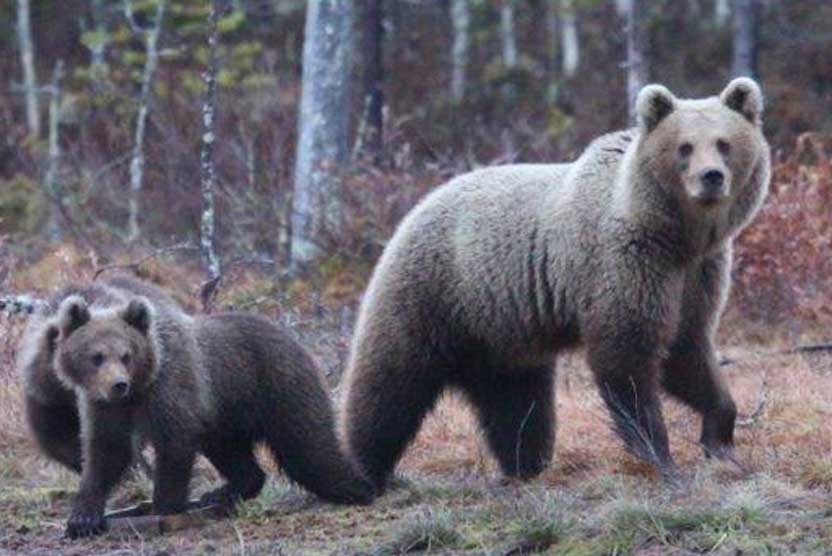 Finland wildlife tour image of brown bear and cub