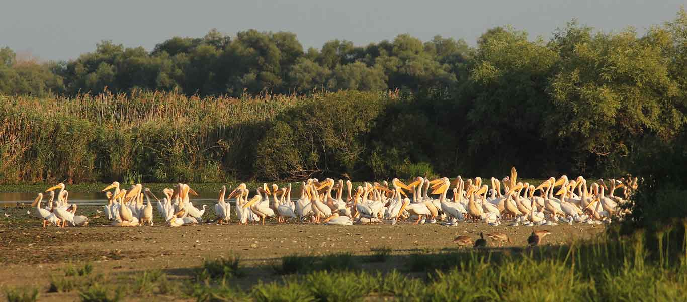 Danube delta wildlife image of Great White Pelicans
