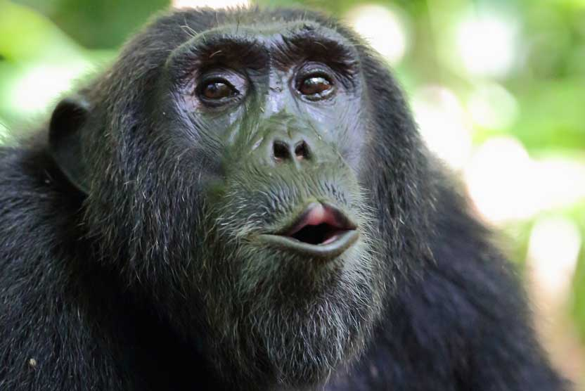 Mahale Mountains image of hooting Chimpanzee
