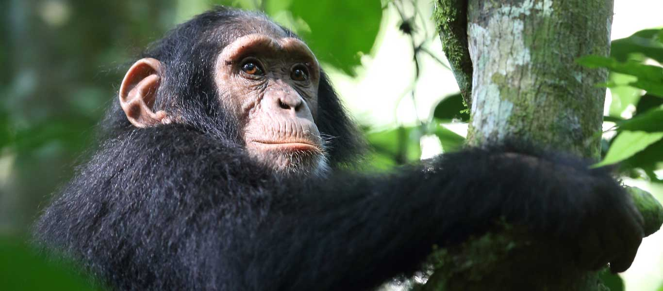 mahale mountains national park photo of young Chimpanzee