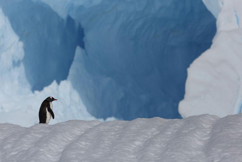 Antarctica, South Georgia and Falklands small ship cruise photo of Gentoo Penguin on iceberg