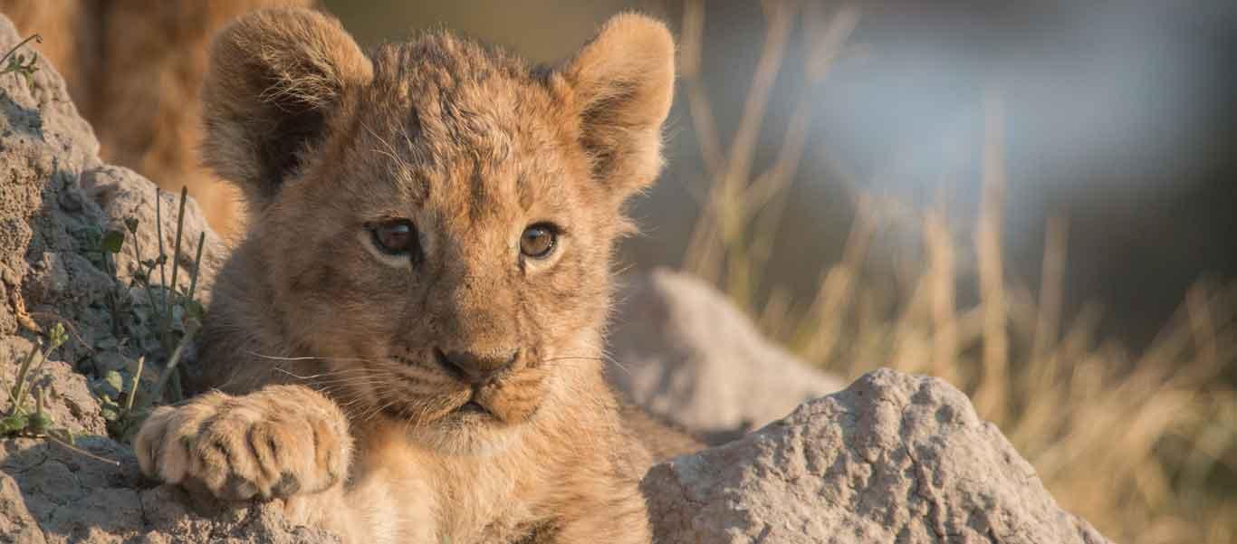 Selous game reserve photo of Lion cub