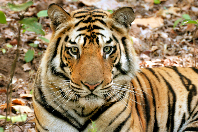 India wildlife safari slide featuring a bengal tiger in Kanha National Park, India