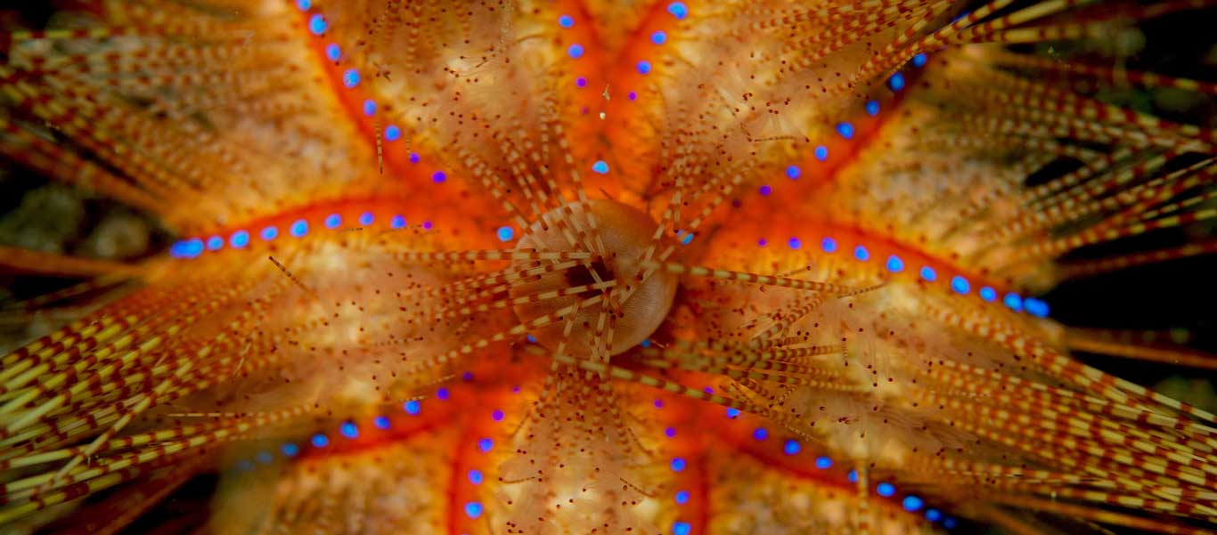 Raja Ampat diving tour slide of venomous sea urchin