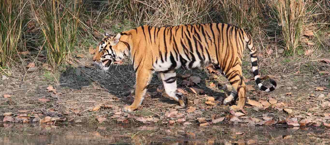 India and Nepal wildlife safari slide shows a bengal tiger hunting