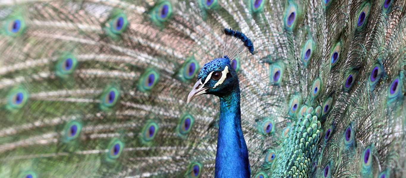 India and Nepal tour slide of an indian peafowl, or blue peacock